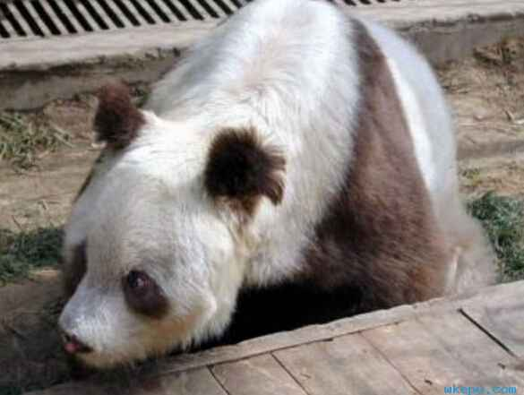 白色大熊猫 你见过吗