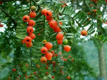 """""""红豆生南国""""的""""红豆""""到底是什么植物?"""