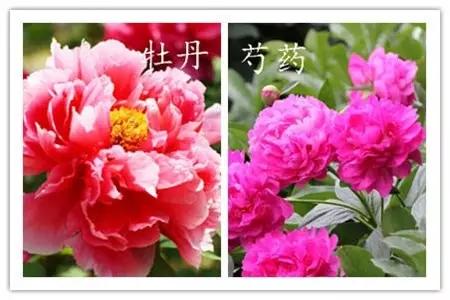 牡丹芍药.webp.jpg