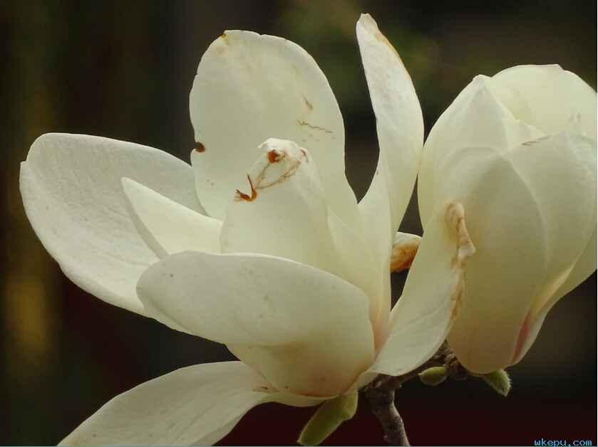 一朵美丽的玉兰花,怒放在春暖花开的季节