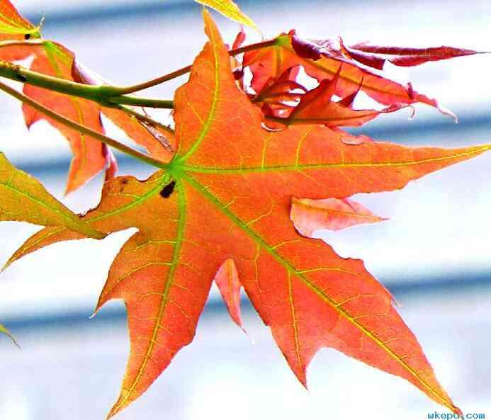 枫叶在秋风里有些害羞