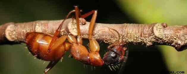 <a href=https://www.wkepu.com/kexuewang/ target=_blank class=infotextkey>科学</a>家发现可以感染蚂蚁大脑细胞的真菌