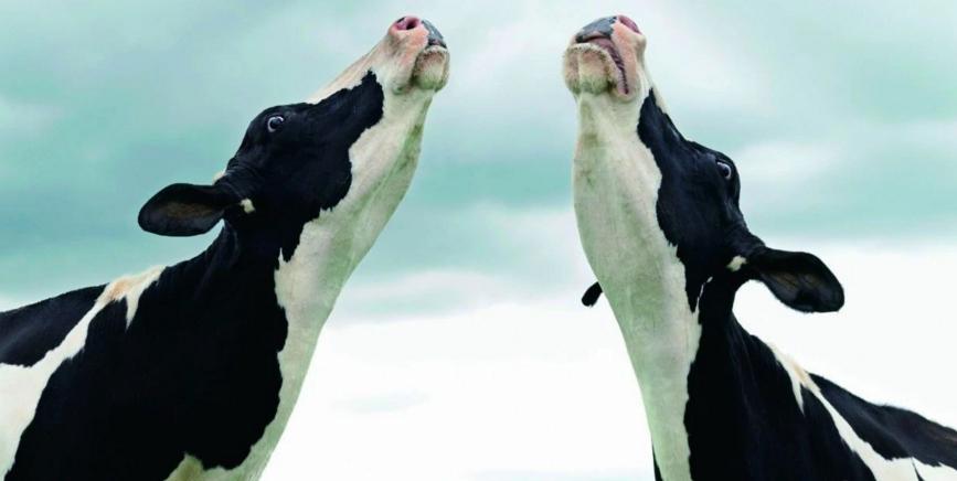 200年后,奶牛将称霸地球大陆