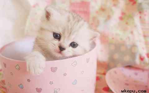 茶杯猫是什么品种?