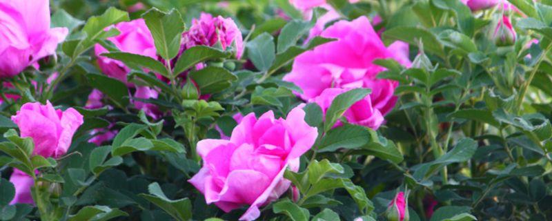 新买的盆栽玫瑰蔫了要怎么办